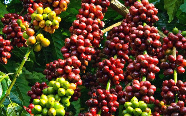 Cà phê thế giới đột ngột lao dốc, giá cà phê trong nước mất 1 triệu đồng/tấn chỉ sau 1 đêm