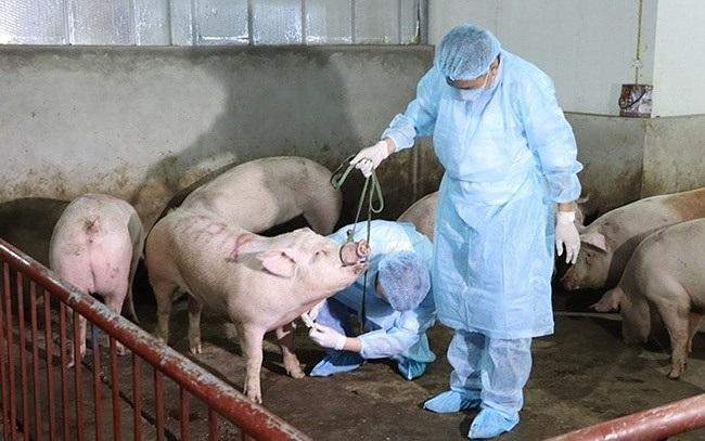 Dịch tả lợn châu Phi tiếp tục phát sinh tại 13 quận, huyện